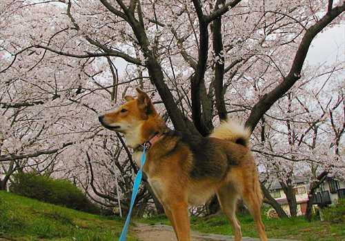 桜の花の下の紗南