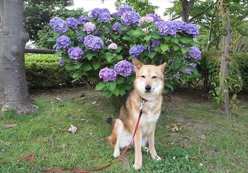 紫陽花と紗南