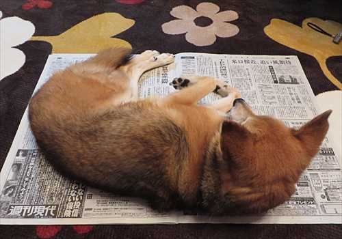 新聞の上に寝て邪魔する紗南ちゃん