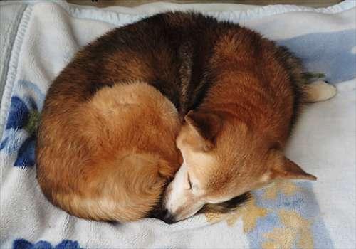 温まった毛布の上で寝る紗南ちゃん