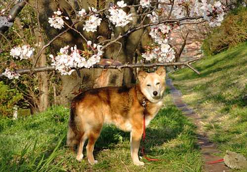 桜の下の紗南ちゃん