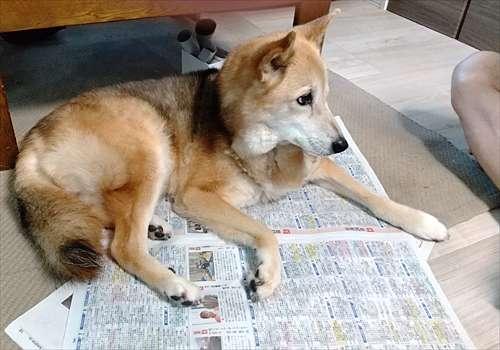 新聞の上に座る紗南ちゃん